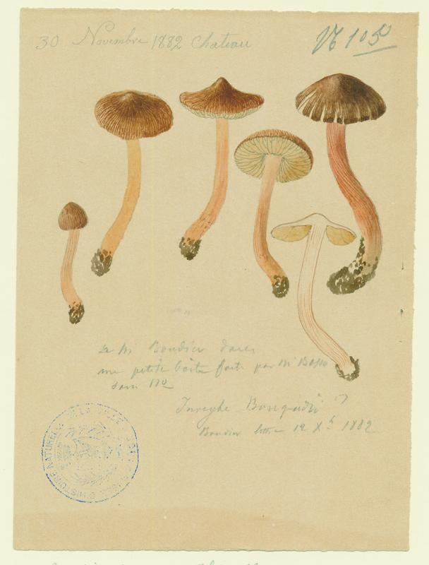 Inocybe à odeur de Benjoin ; champignon