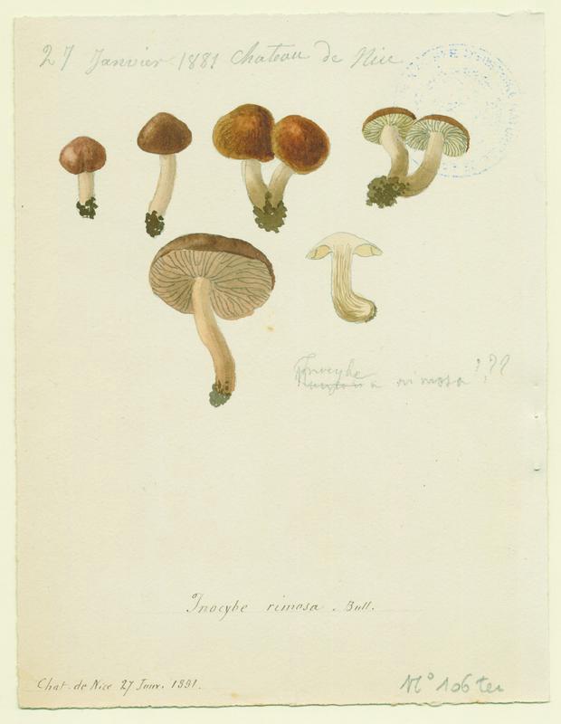 Inocybe fastigié ; champignon_0