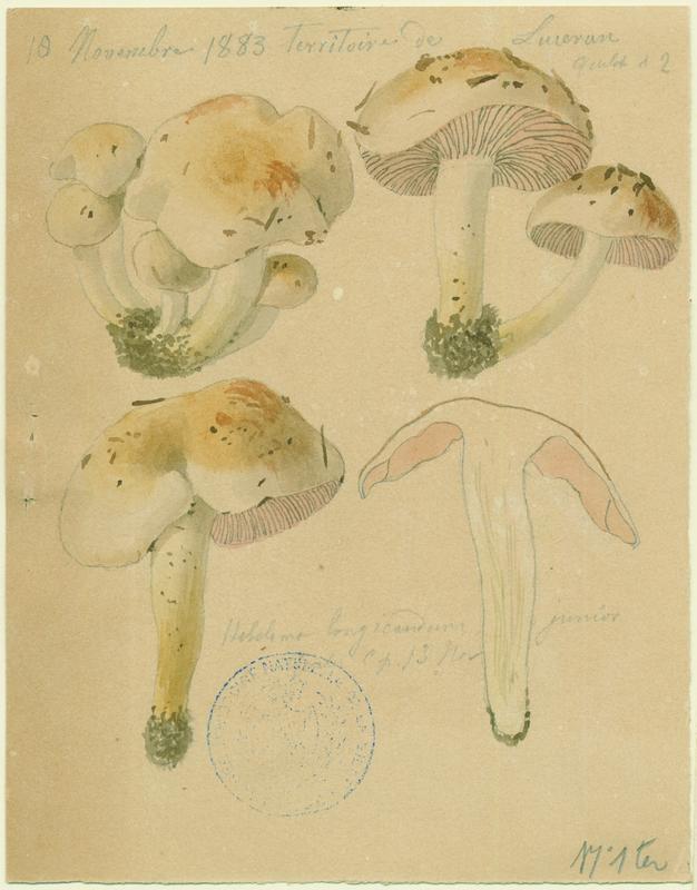 Hébélome à long pied ; champignon_0