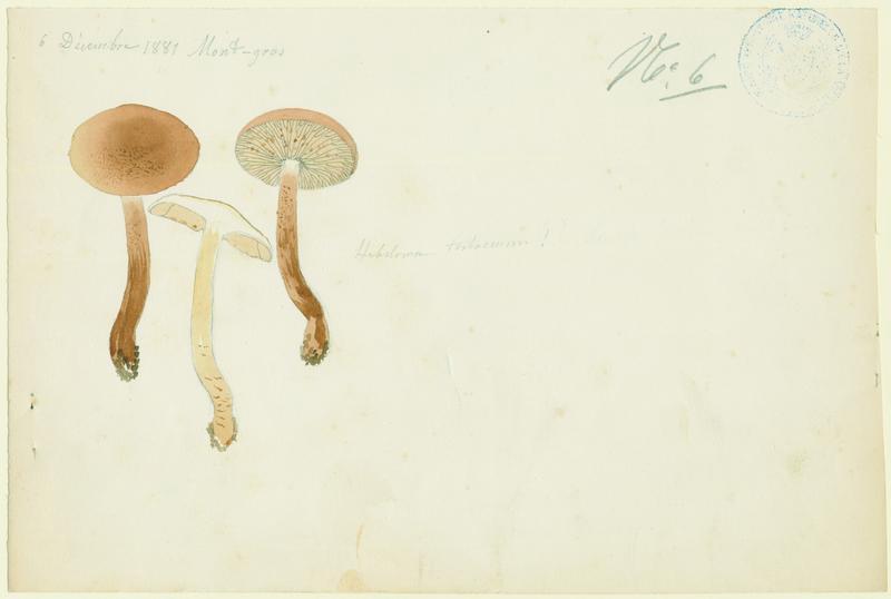 Hébélome à pied sale ; champignon