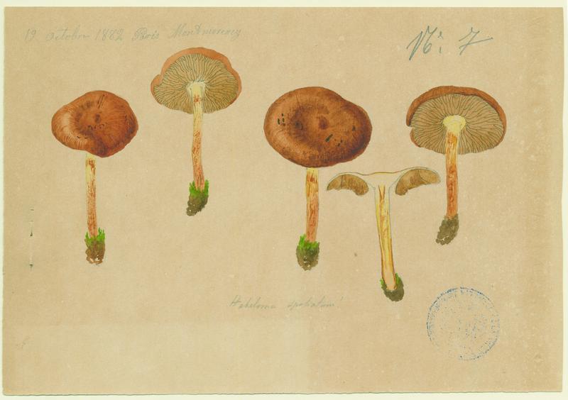 Hébélome à spores cylindracées ; champignon_0