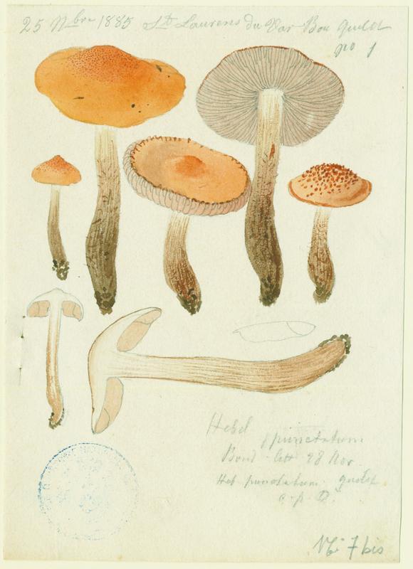 Hébélome des charbonnières ; Hébélome à spores calyptrées ; champignon_0