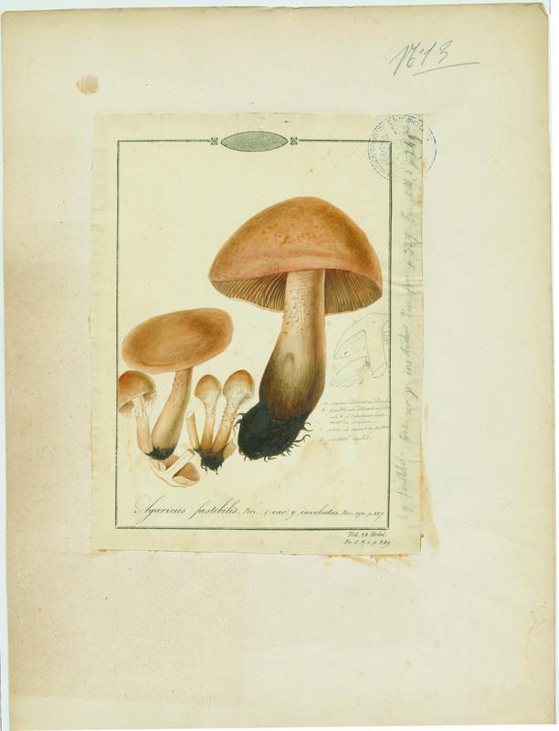 Hébélome répugnant ; champignon