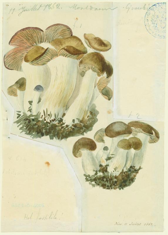 Hébélome répugnant ; champignon_0