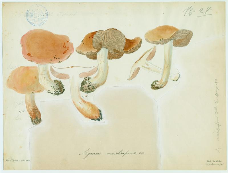 Hébélome croûte de pain ; champignon