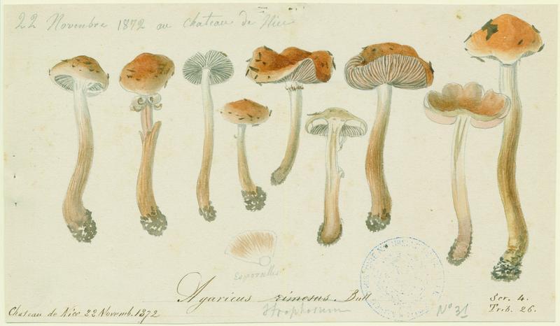Inocybe fastigié ; champignon