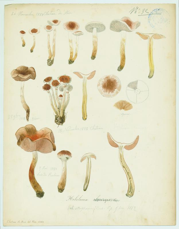 Hébélome ; champignon