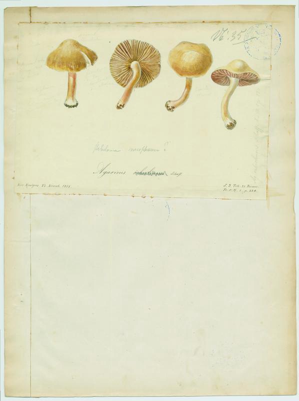 Cortinaire ocre blanc ; champignon_0