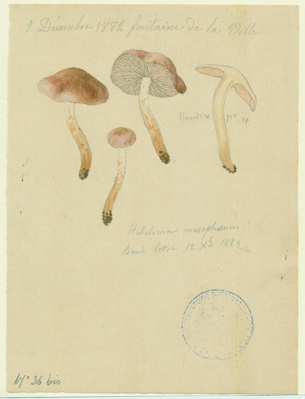 Hébélome à centre sombre ;  Hébélome à centre brun ; champignon_0