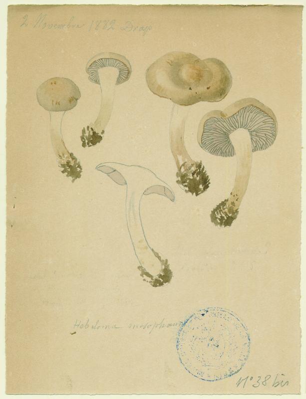 Hébélome à centre sombre ;  Hébélome à centre brun ; champignon