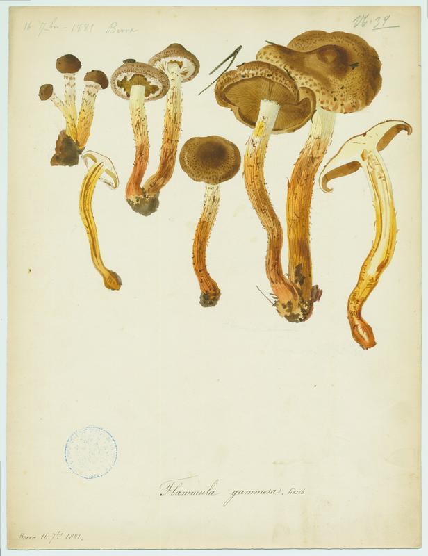 Pholiote gommeuse ; champignon