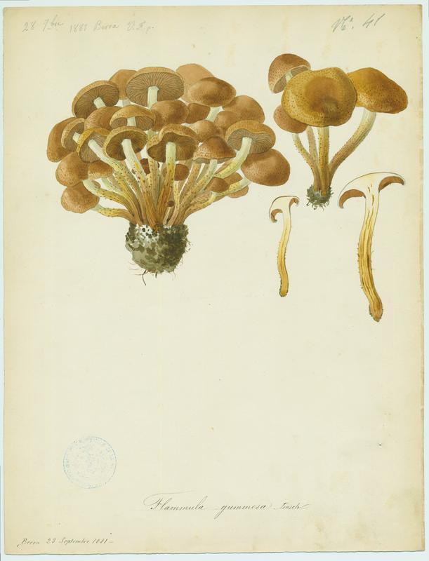 Pholiote gommeuse ; champignon_0