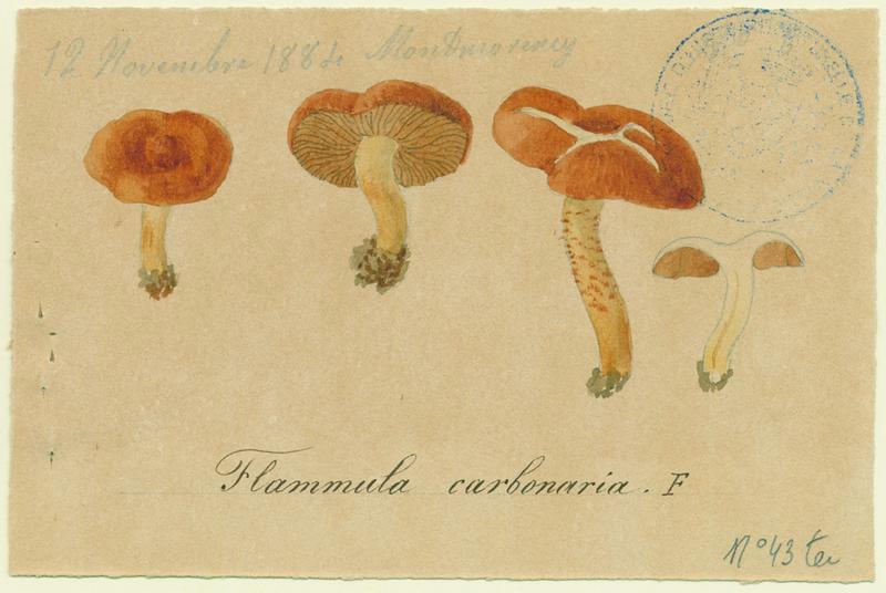 Flammule des charbonnières ; champignon_0