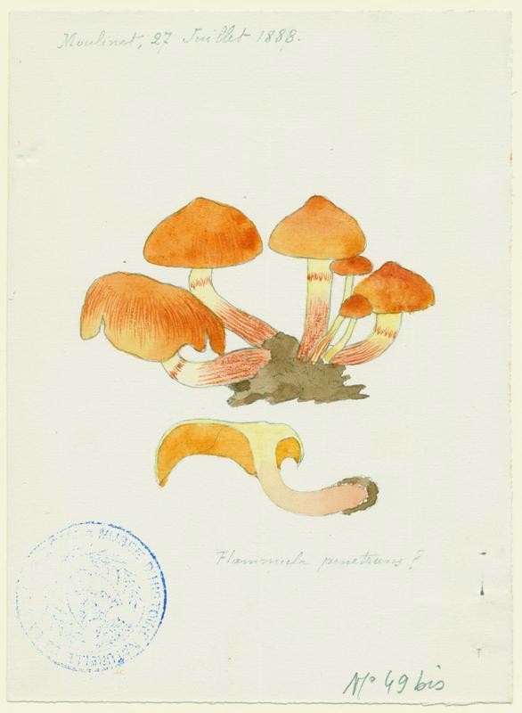 Flammule pénétrante ; Gymnopile pénétrant ;champignon_0