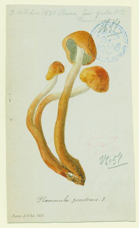 Flammule pénétrante ; Gymnopile pénétrant ; champignon_0