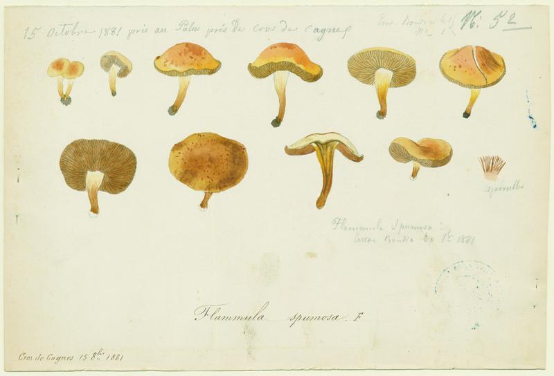 Pholiote écumeuse ; champignon
