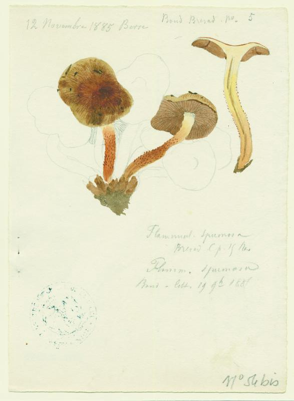 Pholiote écumeuse ; champignon_0