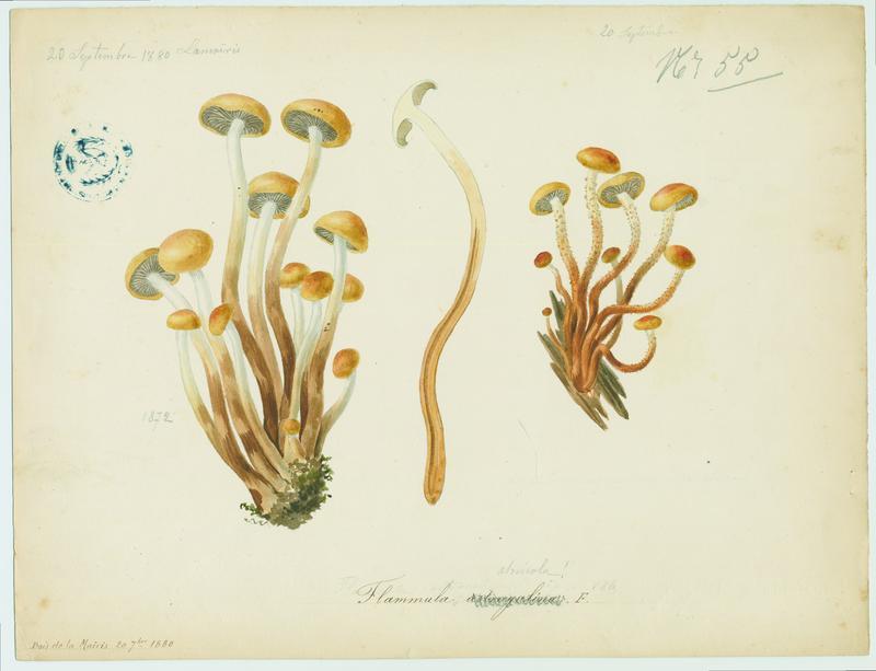 Pholiote astragale ; champignon_0