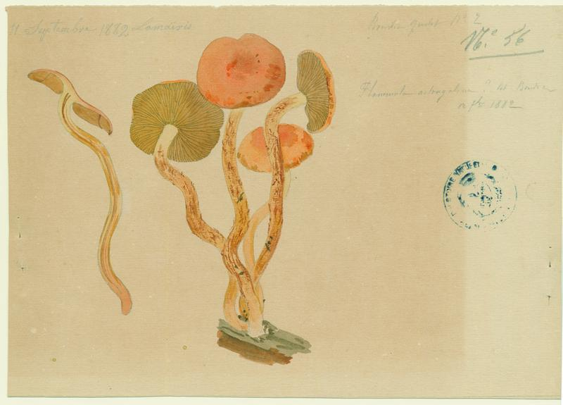 Pholiote astragale (?) ;champignon_0
