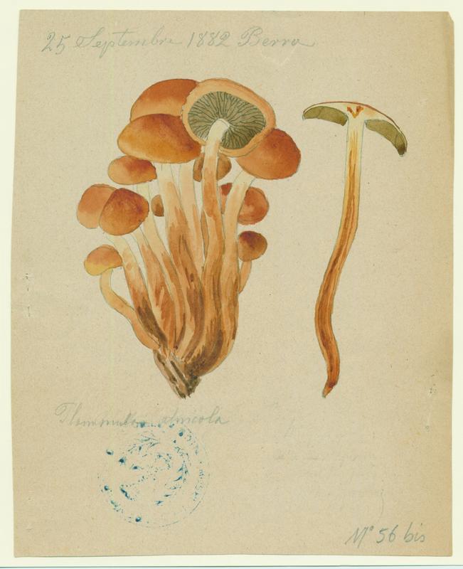 Flammule des aulnes ; champignon_0