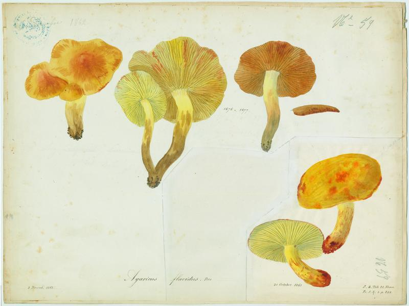 Pholiote jaune ; champignon_0