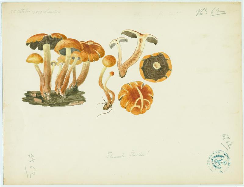Pholiote jaune (?) ; champignon