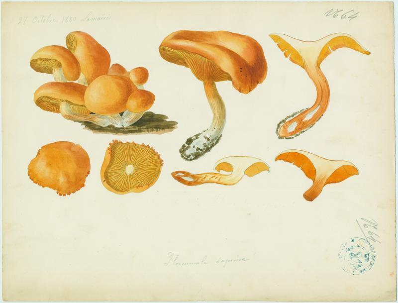 Gymnopile du sapin ; champignon_0