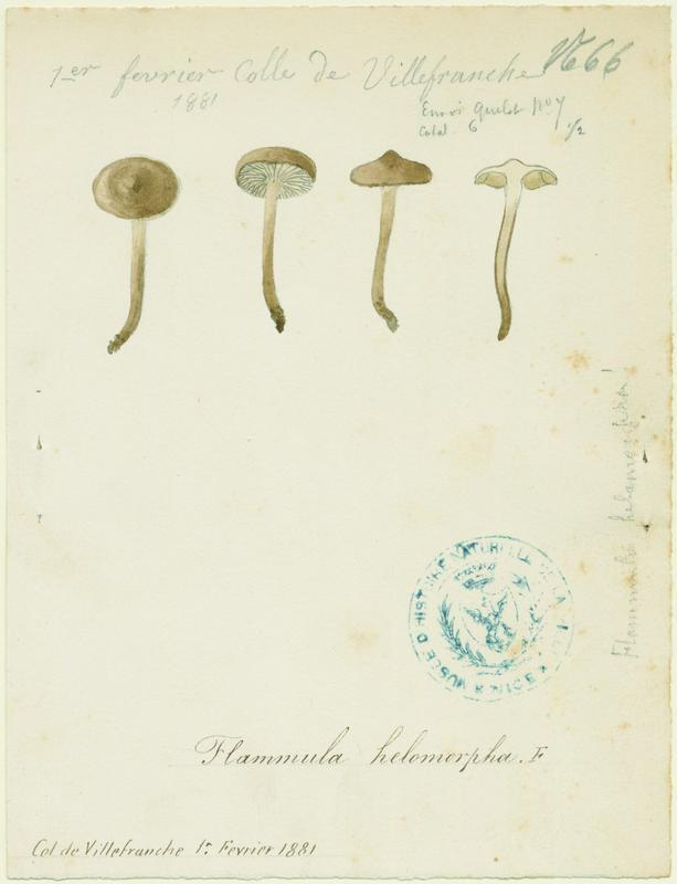 Ripartite poilu ; champignon_0