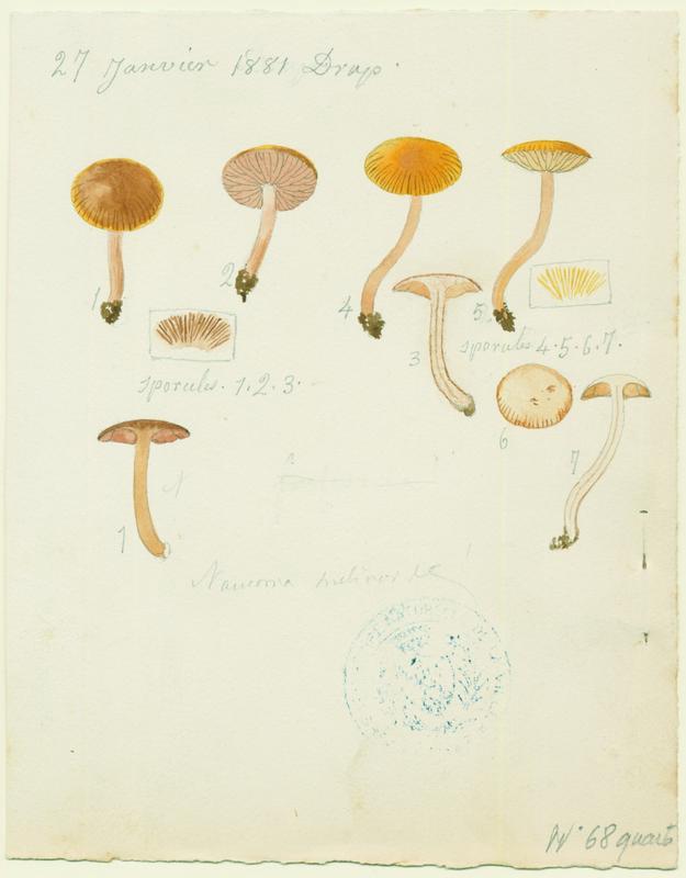Alnicole jaunâtre ; champignon