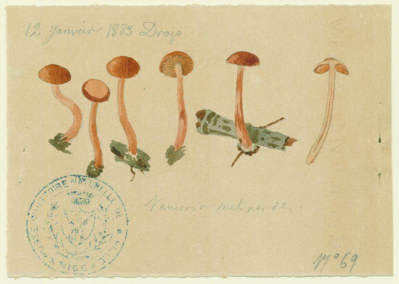 Alnicole jaunâtre ; champignon_0