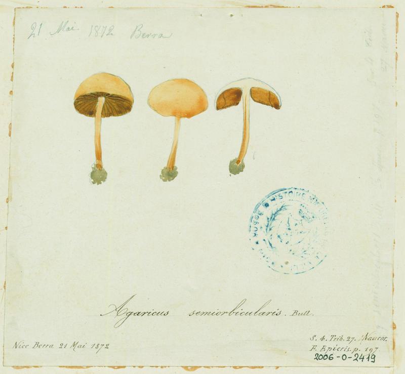 Agrocybe des pelouses ; champignon