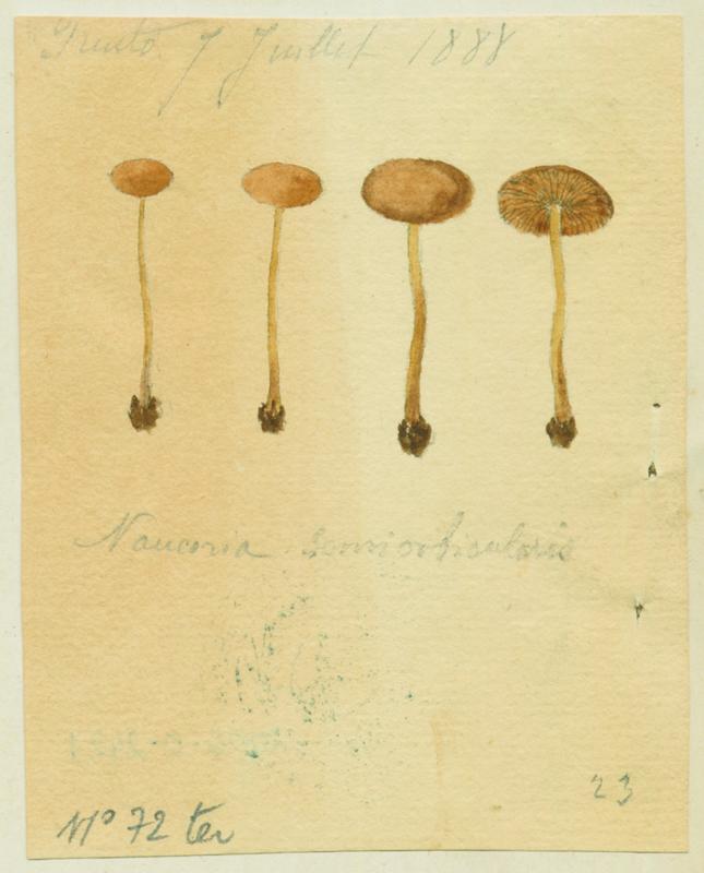 Naucorie ; champignon