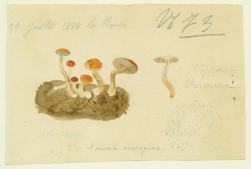 Naucorie ; champignon_0