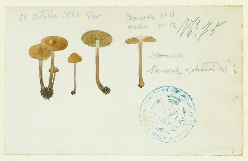Naucorie en escarres ; champignon