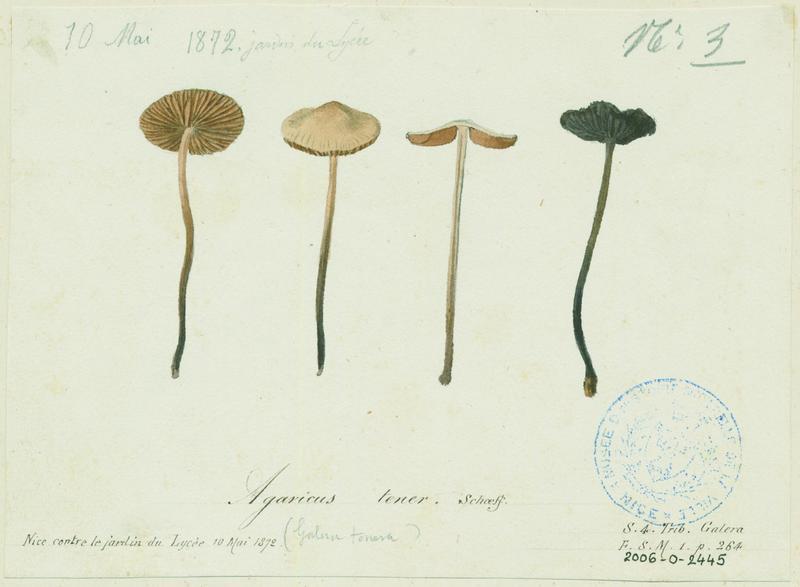 Conocybe commun ; Conocybe délicat ; champignon_0