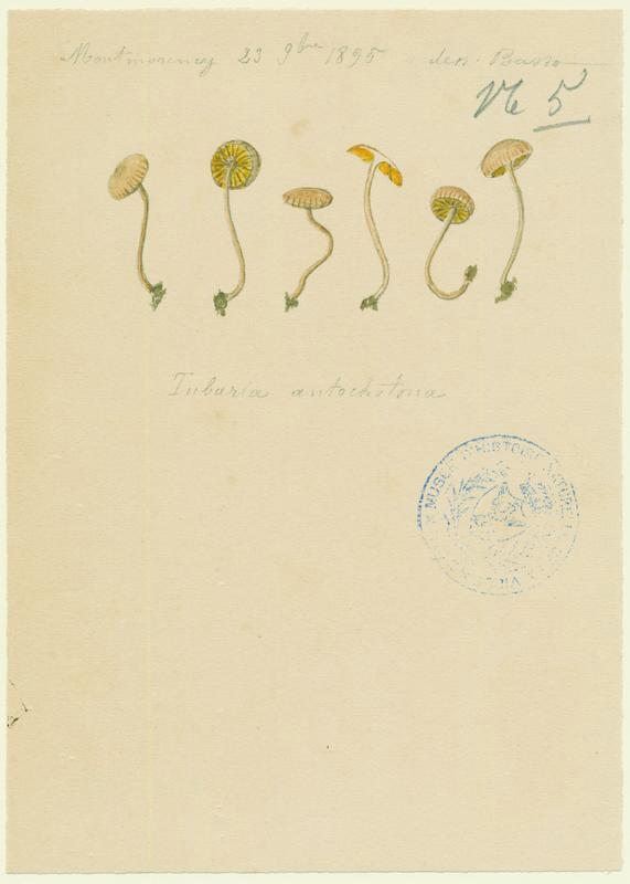 Tubaire de l'aubépine ; champignon_0