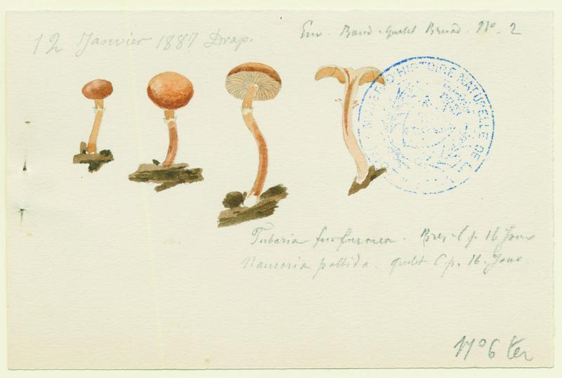 Tubaire furfuracée ; Tubaire commune ; champignon_0