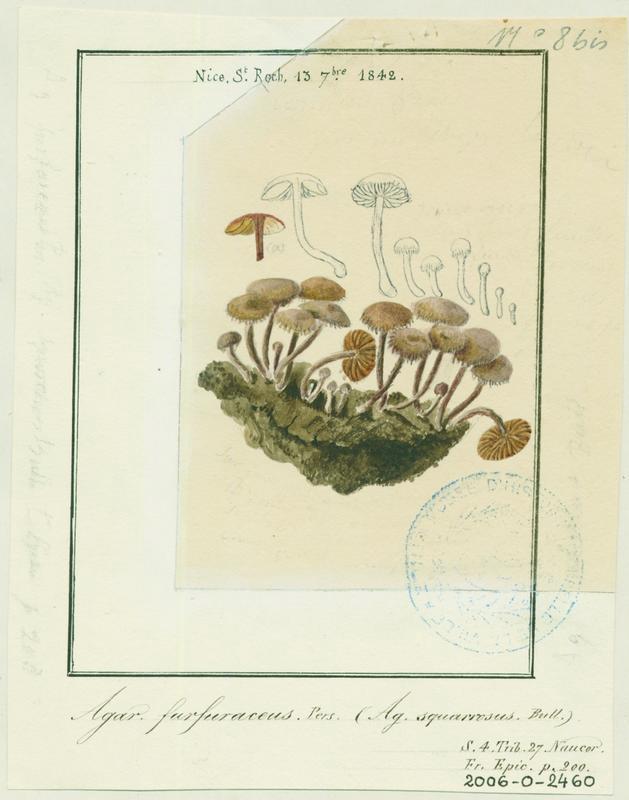 Tubaire furfuracée ; Tubaire commune ; champignon