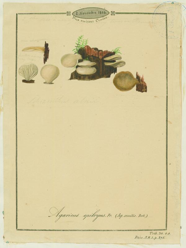 Crépidote des mousses ; champignon