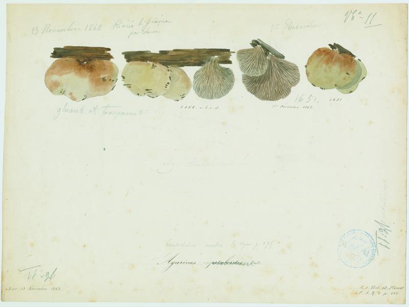 Pleurote petaloïde ; champignon
