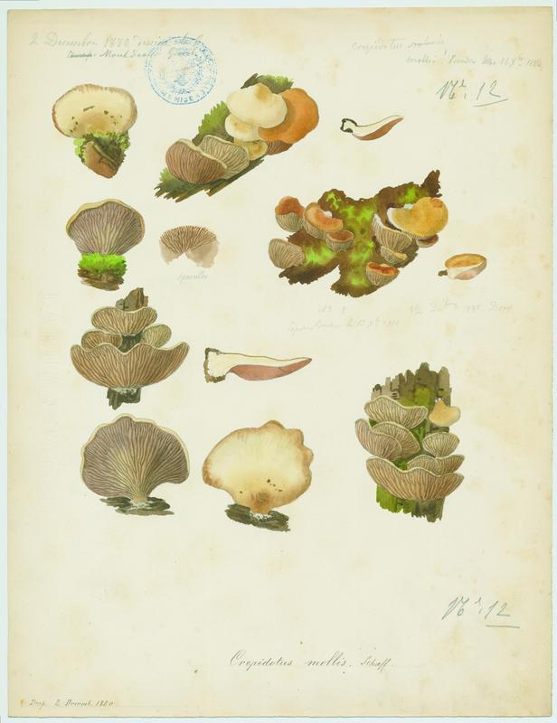 Crépidote mou ; champignon