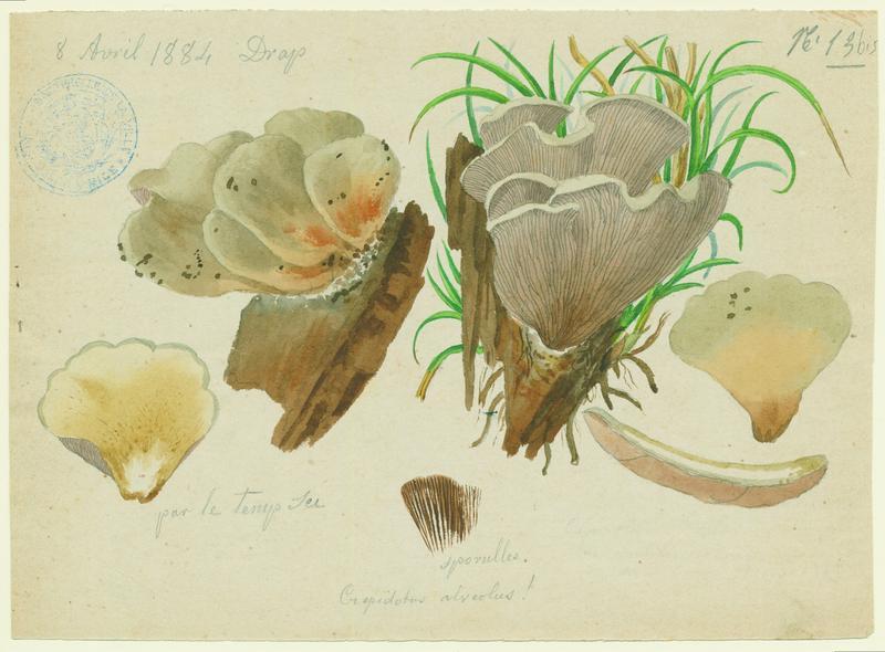 Crépidote ; champignon