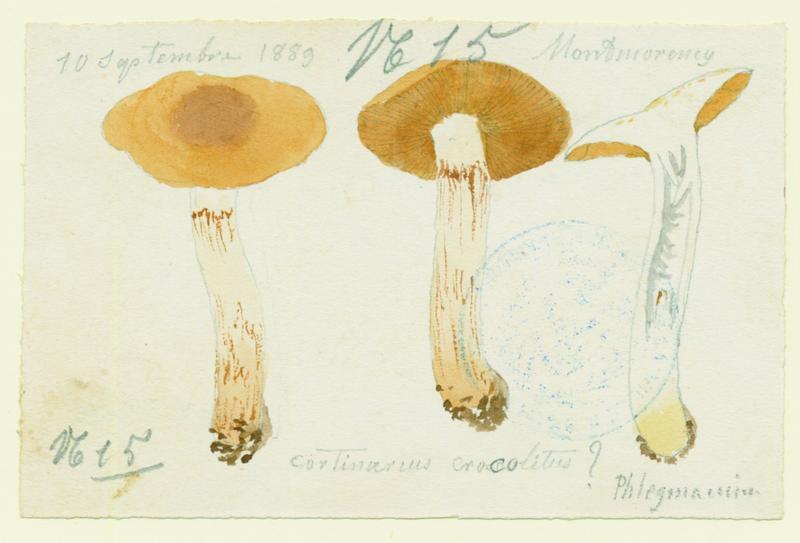 Cortinaire triomphant ; Cortinaire chaussé de jaune ; champignon_0