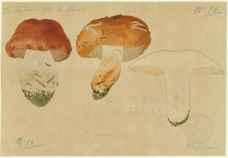 Cortinaire variable ; champignon_0