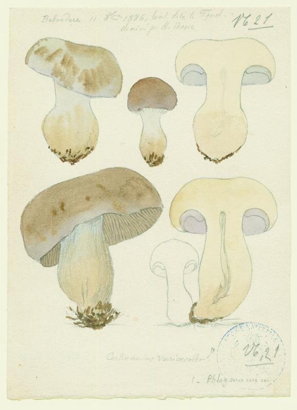 Cortinaire de couleur variable ; Cortinaire à odeur terreuse ; champignon