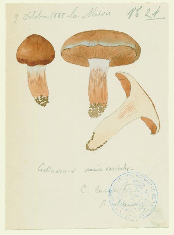 Cortinaire de couleur variable ; Cortinaire à odeur terreuse ; champignon_0