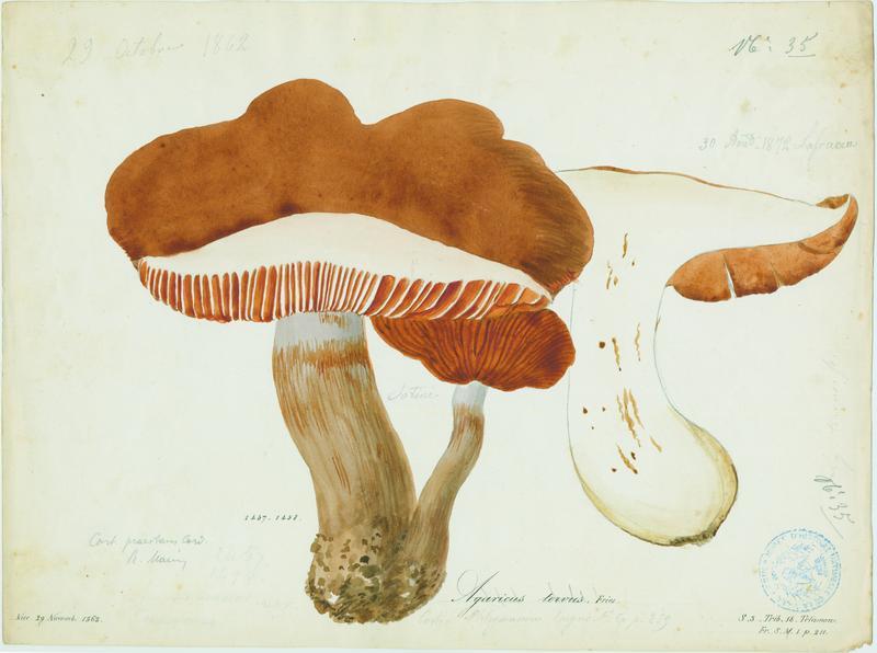 Cortinaire odorant ; Cortinaire à chaussette ; champignon