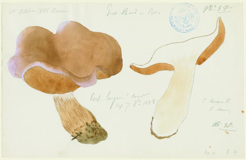 Cortinaire large ; champignon_0