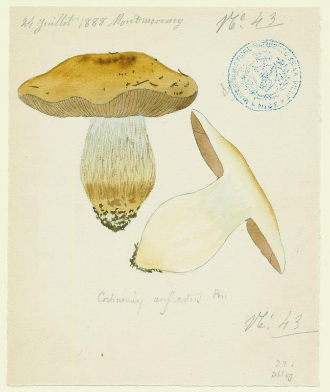 Cortinaire tortueux (?) ; champignon_0