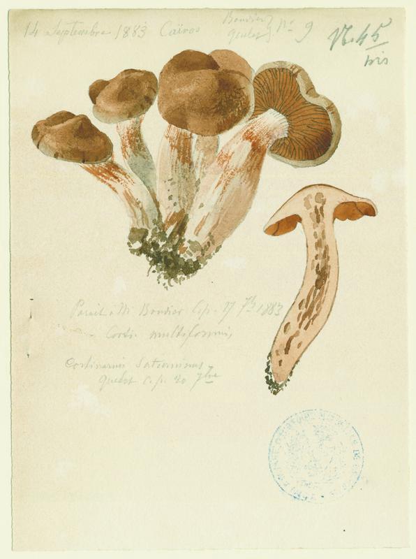 Cortinaire multiforme ; champignon_0